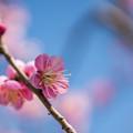写真: 小田原フラワーガーデン【梅の花:大湊】2