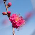 写真: 小田原フラワーガーデン【梅の花:緋の司】2