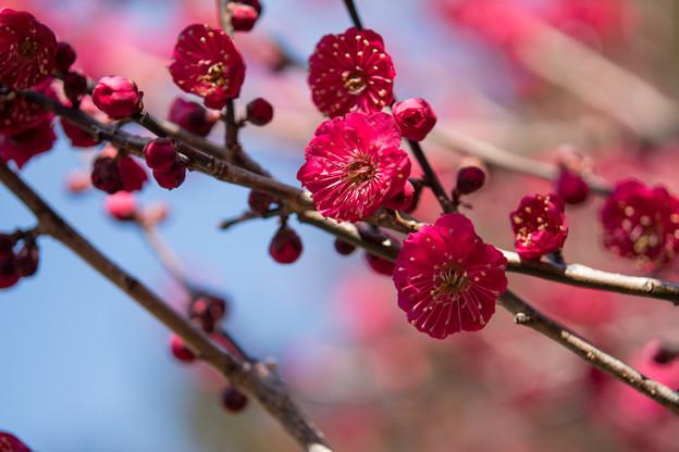 写真: 小田原フラワーガーデン【梅の花:蘇芳梅】1