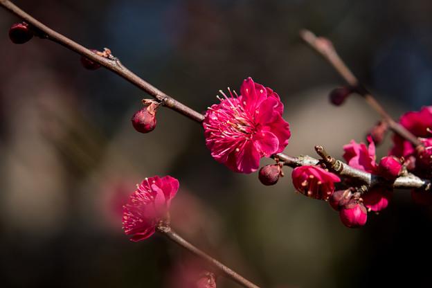 小田原フラワーガーデン【梅の花:蘇芳梅】2