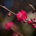 写真: 小田原フラワーガーデン【梅の花:蘇芳梅】2