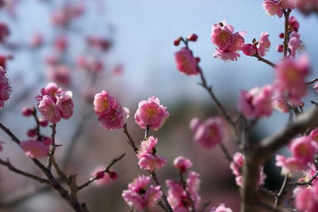 小田原フラワーガーデン【梅の花:世界の図】