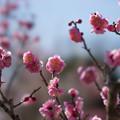 写真: 小田原フラワーガーデン【梅の花:世界の図】