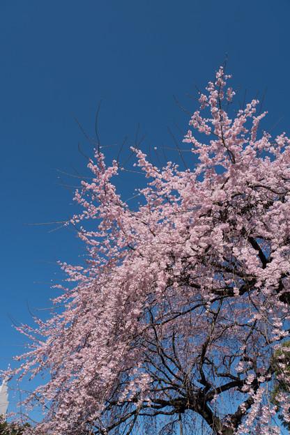 新宿御苑【枝垂れ桜: 下の池付近】3