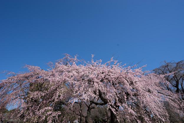 新宿御苑【枝垂れ桜: 下の池付近】4