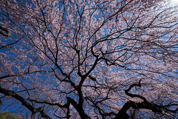 新宿御苑【枝垂れ桜: 下の池付近】6
