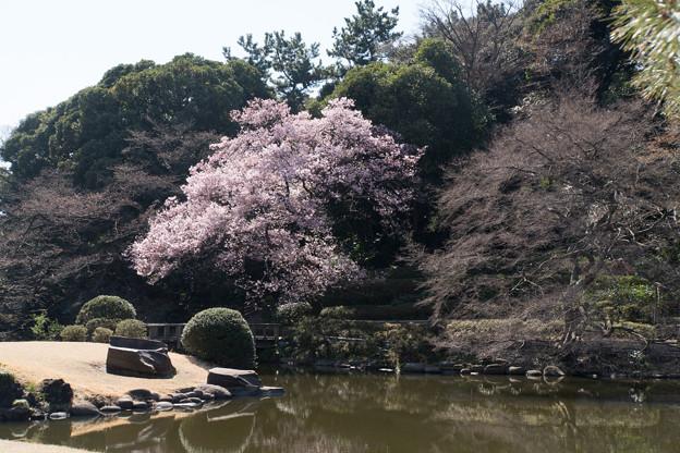 新宿御苑【高遠小彼岸桜: 玉藻池】2
