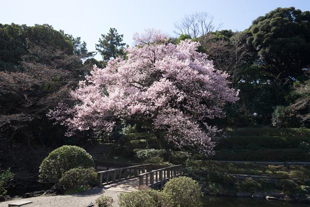 新宿御苑【高遠小彼岸桜: 玉藻池】3