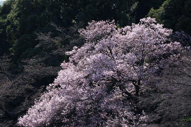 新宿御苑【高遠小彼岸桜: 玉藻池】5
