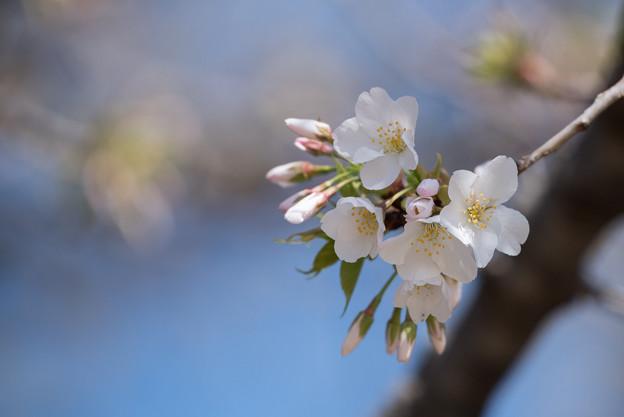 新宿御苑【大島桜】5