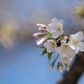 写真: 新宿御苑【大島桜】5