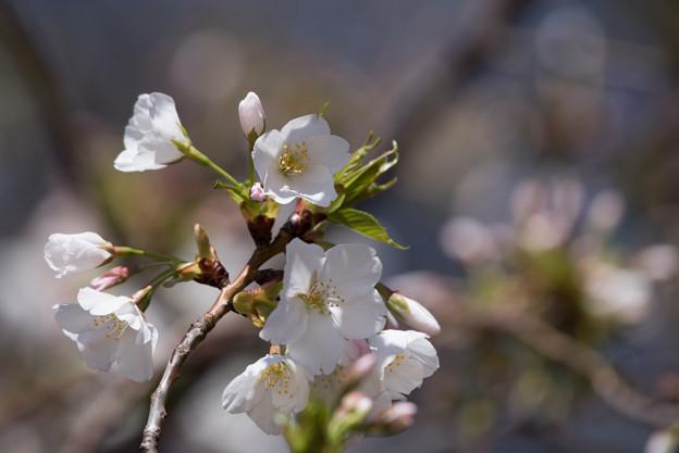 新宿御苑【大島桜】6