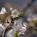 写真: 新宿御苑【大島桜】6