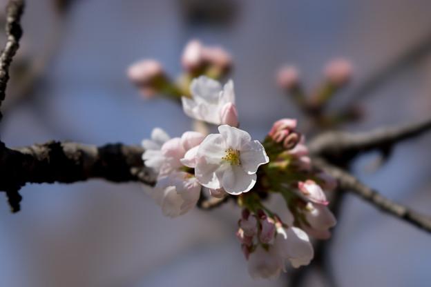 新宿御苑【染井吉野】5