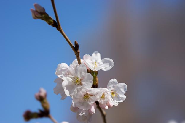 新宿御苑【染井吉野】7