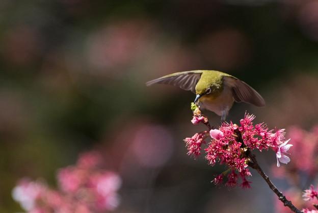 新宿御苑【寒桜とメジロ】3