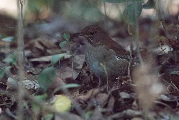 新宿御苑【野鳥: シロハラ】
