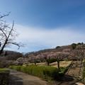 写真: 【薬師池公園の梅園】2