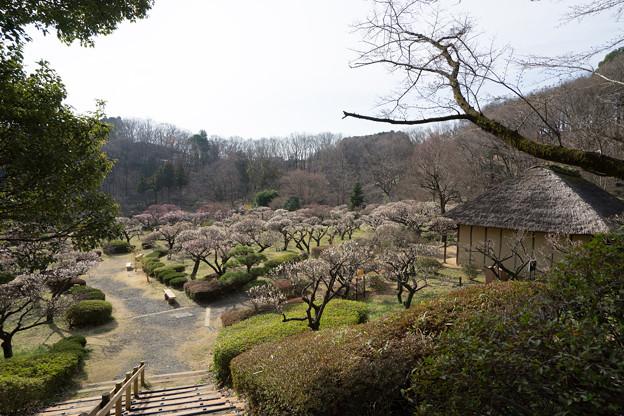 【薬師池公園の梅園】3