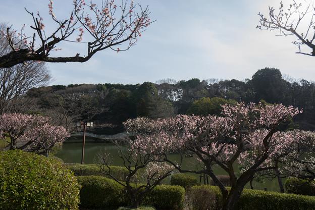 【薬師池公園の梅園】4