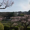 写真: 【薬師池公園の梅園】4