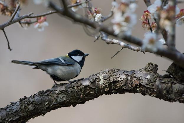 薬師池公園の野鳥【シジュウガラ】