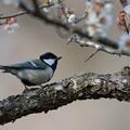 写真: 薬師池公園の野鳥【シジュウカラ】
