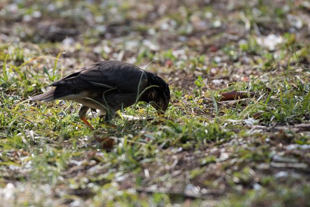 薬師池公園の野鳥【ムクドリ】