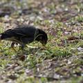 写真: 薬師池公園の野鳥【ムクドリ】