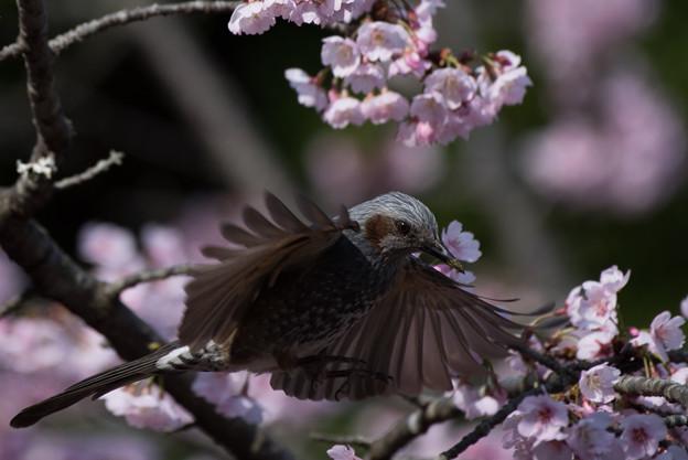 写真: 薬師池公園の野鳥【ヒヨドリ】