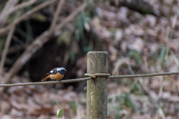 薬師池公園の野鳥【ジョウビタキ】