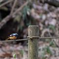 写真: 薬師池公園の野鳥【ジョウビタキ】