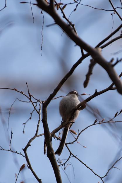 薬師池公園の野鳥【エナガ】