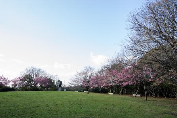 本牧山頂公園【横浜緋桜の眺め】2