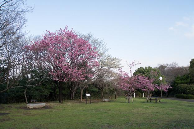 本牧山頂公園【横浜緋桜の眺め】3