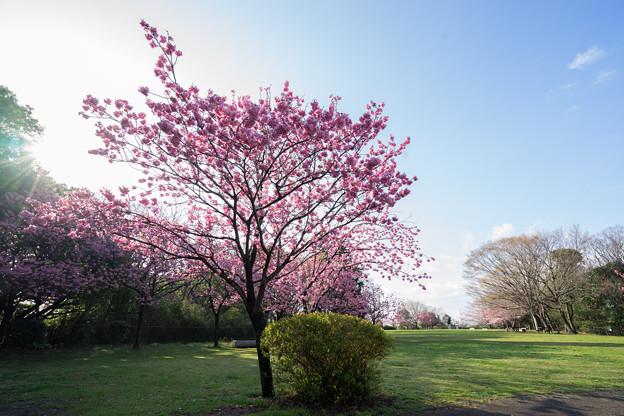 本牧山頂公園【横浜緋桜の眺め】5