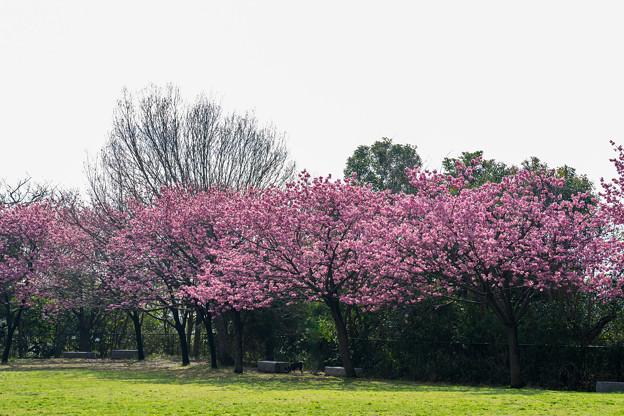本牧山頂公園【横浜緋桜の眺め】7