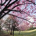 本牧山頂公園【桜:横浜緋桜】1