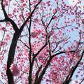 本牧山頂公園【桜:横浜緋桜】2