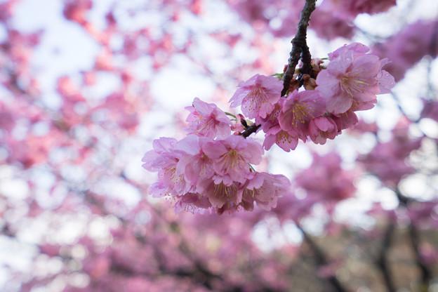 本牧山頂公園【桜:横浜緋桜】4