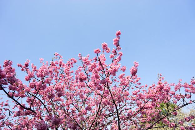 本牧山頂公園【桜:横浜緋桜】5