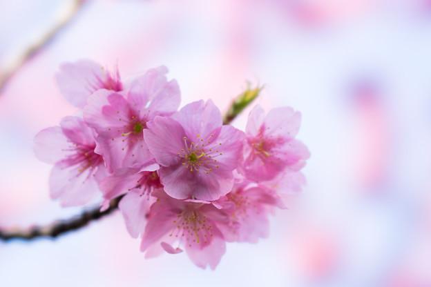 本牧山頂公園【桜:横浜緋桜】7
