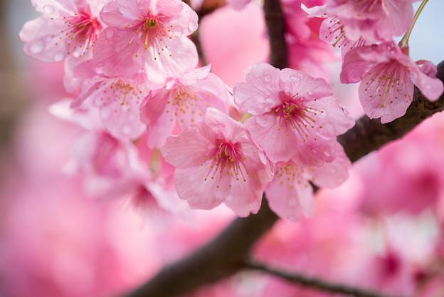 本牧山頂公園【桜:横浜緋桜】9