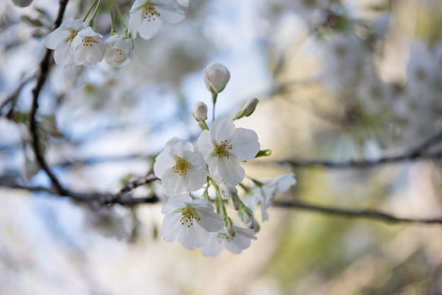 本牧山頂公園【桜:大島桜】2