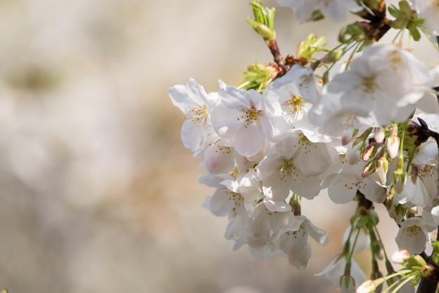 本牧山頂公園【桜:大島桜】6