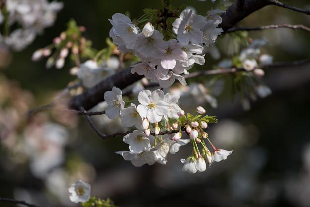 本牧山頂公園【桜:大島桜】8