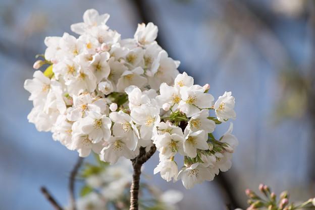 本牧山頂公園【桜:大島桜】9