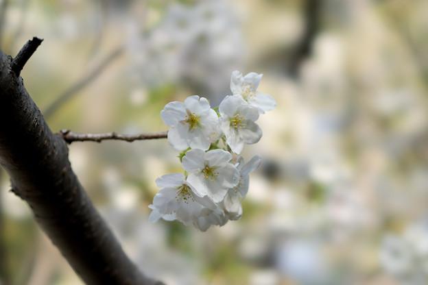 本牧山頂公園【桜:大島桜】10