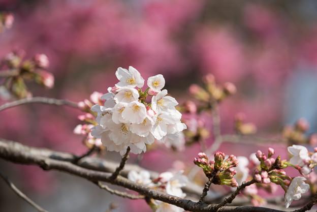 本牧山頂公園【桜:染井吉野】2