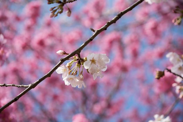本牧山頂公園【桜:染井吉野】7